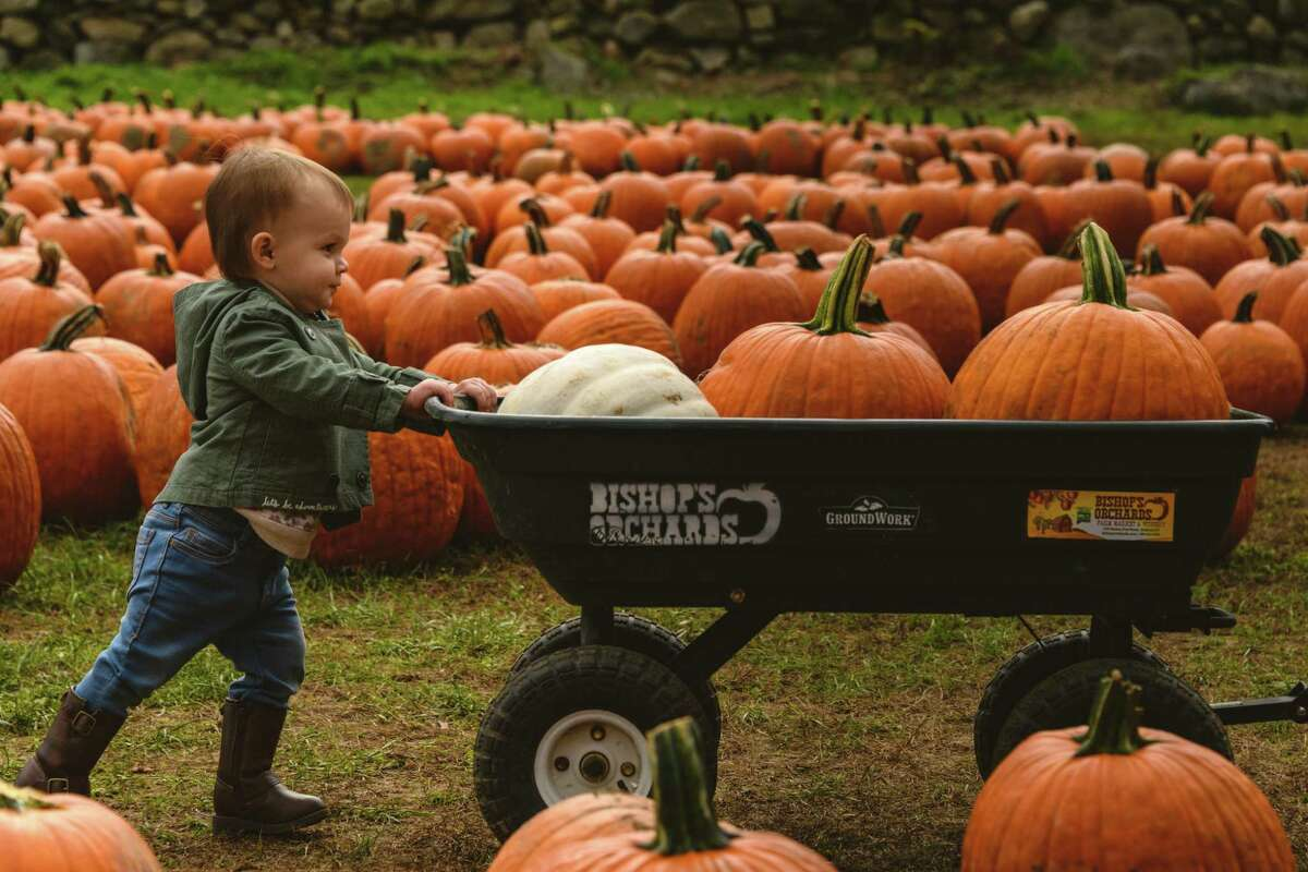 You can pick your own pumpkins at Bishop's Orchards in Guilford. Sometimes it helps to have a wagon.