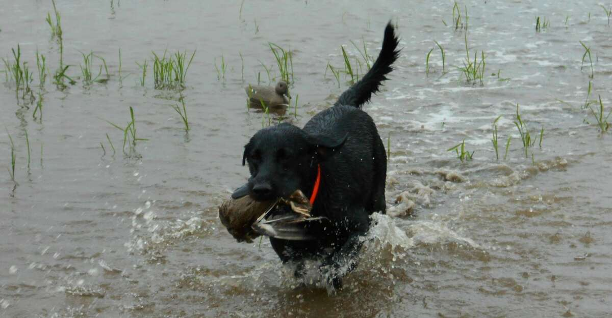 A 9-month old black lab named Cooper, our hunting partner on a morning spent teal hunting with guide Jason Catchings on a rice field in Anahuac.