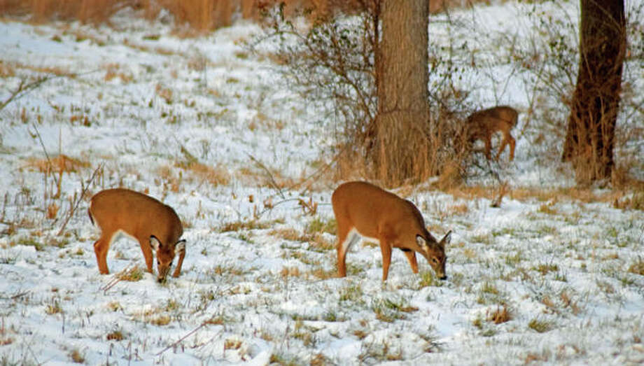 In this December file photo, some deer are seen grazing in a snowy field, west of Southern Illinois University Edwardsville campus. Photo: Tyler Pletsch | Intelligencer