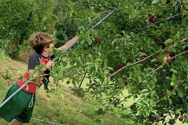 George Haft goes apple picking.