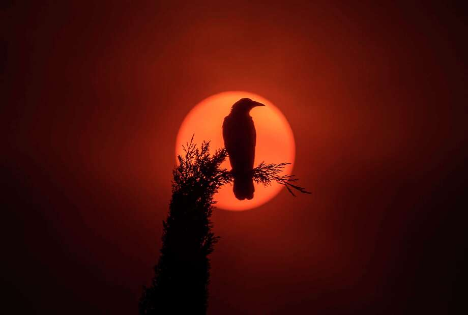A crow on a Cypress Tree is silhouetted by the sun, which is partially obscured with ash from Southland wildfires in Garden Grove, California, Sept. 9. Photo: Allen J. Schaben / TNS / Los Angeles Times