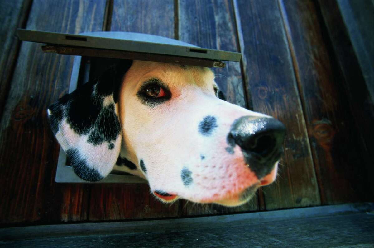 To get a dog to use the doggie door at night again, you may have to start retraining all over again.