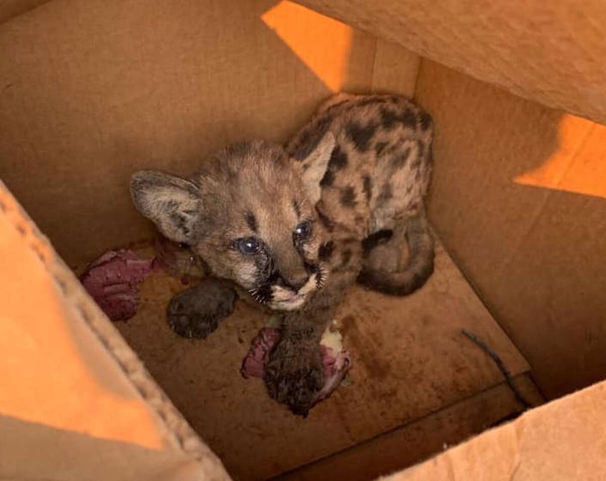 Cal Fire and Shasta County Sheriff's Office personnel found this mountain lion cub wandering alone Wednesday on Zogg Mountain Road in an area burned by the Zogg Fire.