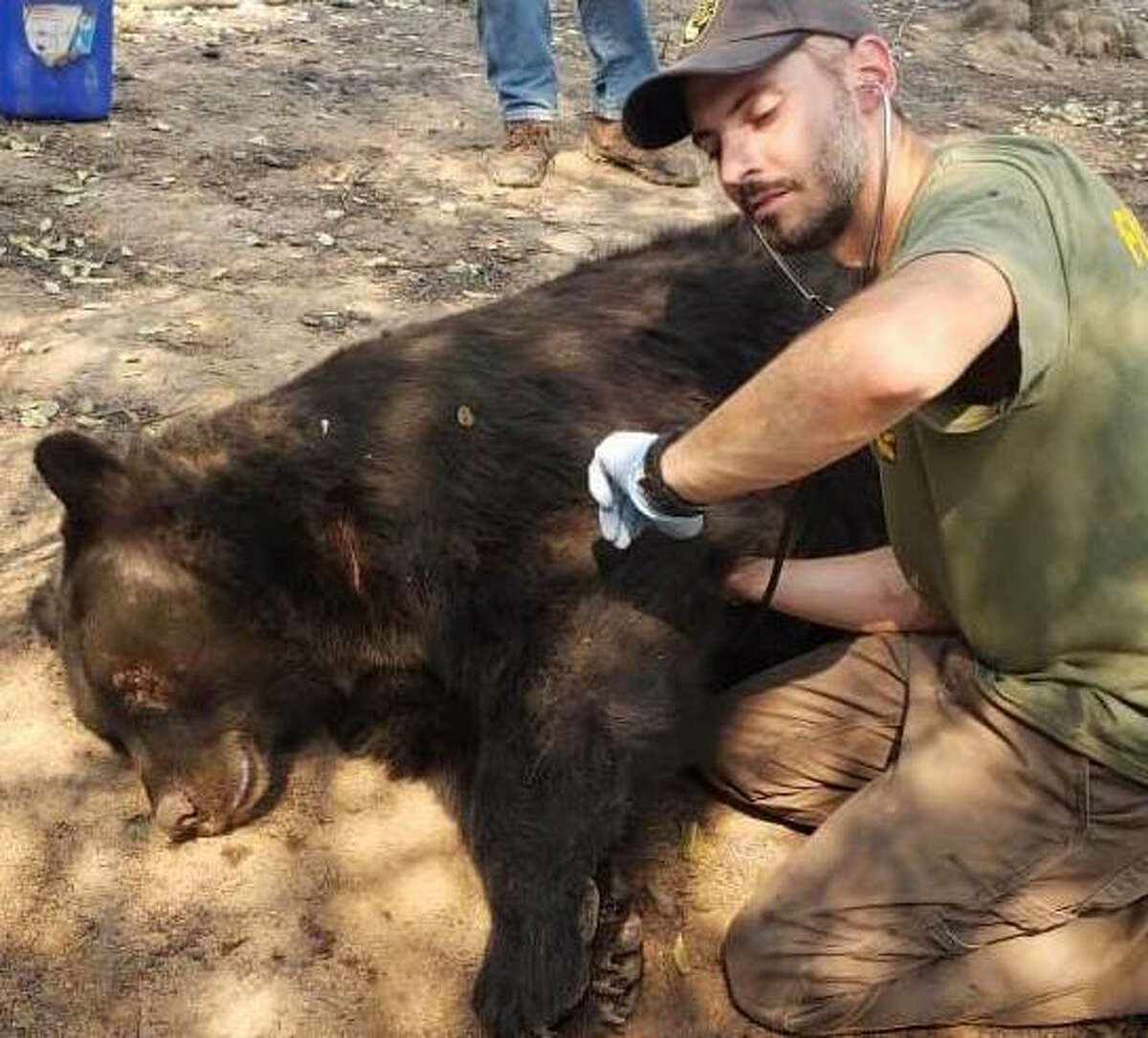 A California Department of Fish and Wildlife officer checks the heart rate of a tranquilized black bear that was injured in the Zogg Fire burning in Shasta and Tehama counties on Sept. 30.