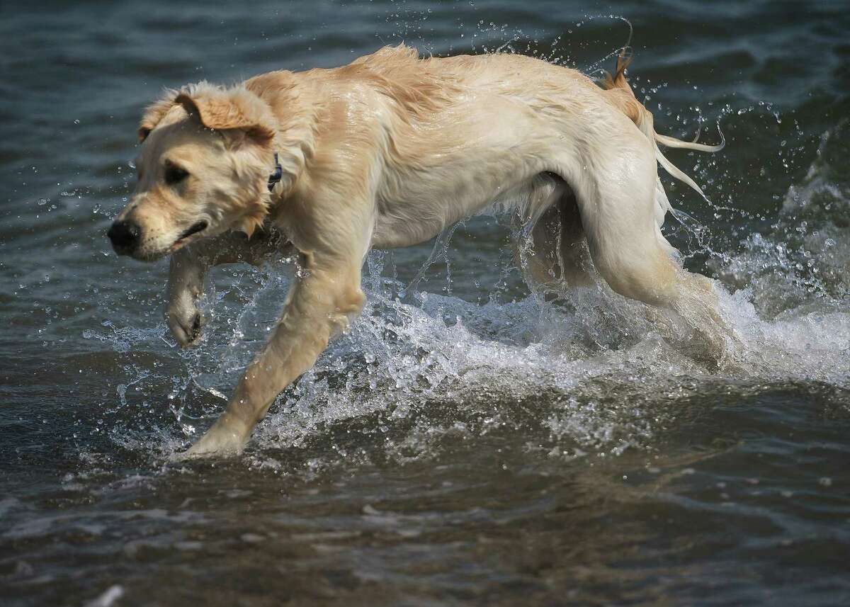 Golden retriever Archie enjoys his first ever dip in the Sound at Jennings Beach in Fairfield, Conn. on Thursday, October 1, 2020. Dogs and other animals are allowed on Fairfield beaches each year beginning October 1st.