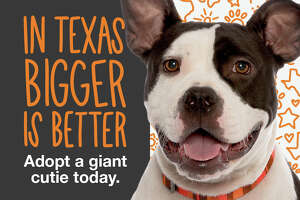 The Texas Big Dog Campaign from Best Friends aims to rescue 400 dogs weighing 40 pounds or over out of Houston animal shelters.