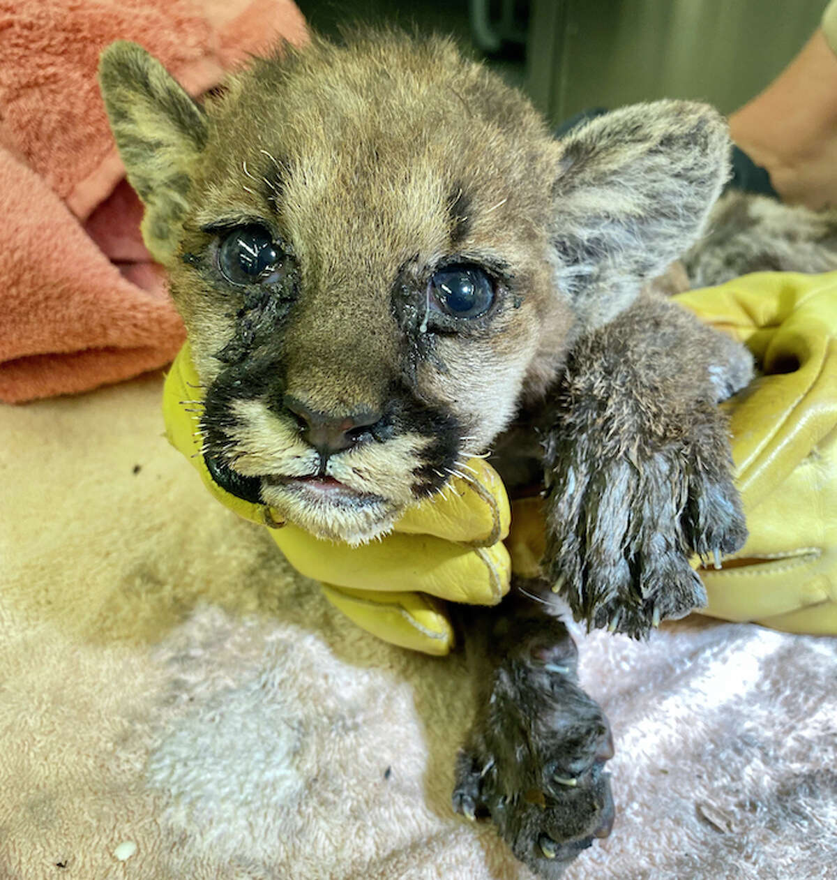 What a face! A mountain lion cub orphaned by the Zogg Fire in Shasta County is being treated for serious burns at the Oakland Zoo. (Oct. 1, 2020.)