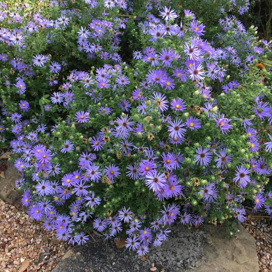 Perennial aromatic aster, Symphyotrichum oblongifolium, blooms beautifully in fall and provides bees and butterflies with nectar and pollen. Photo: Photo By Linda Crum