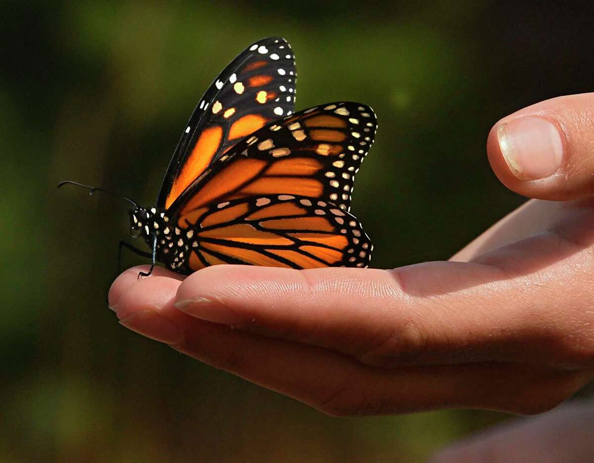 The monarch butterfly is in the middle of its annual migration to Mexico as millions of the butterflies flutter through San Antonio.
