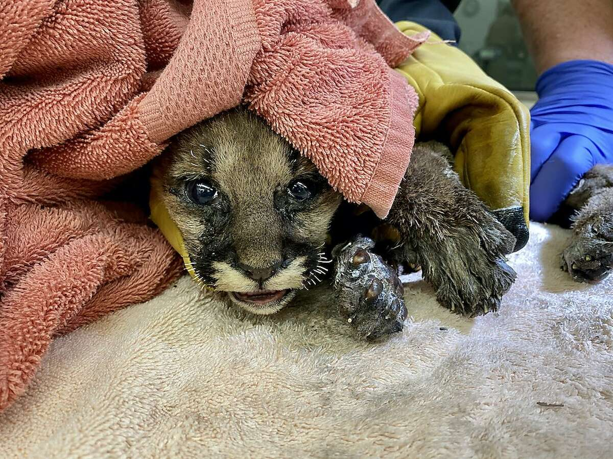 Veterinarians with the Oakland Zoo are treating a mountain lion cub for severe wildfire burns from the Zogg Fire.