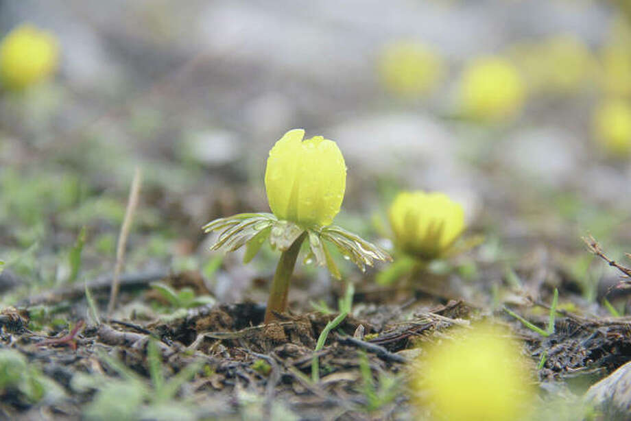 Colchium autumnale, commonly known as autumn crocus, emerge from the ground. Photo: Sidar Can Eren | Anadolu Agency (Getty Images)