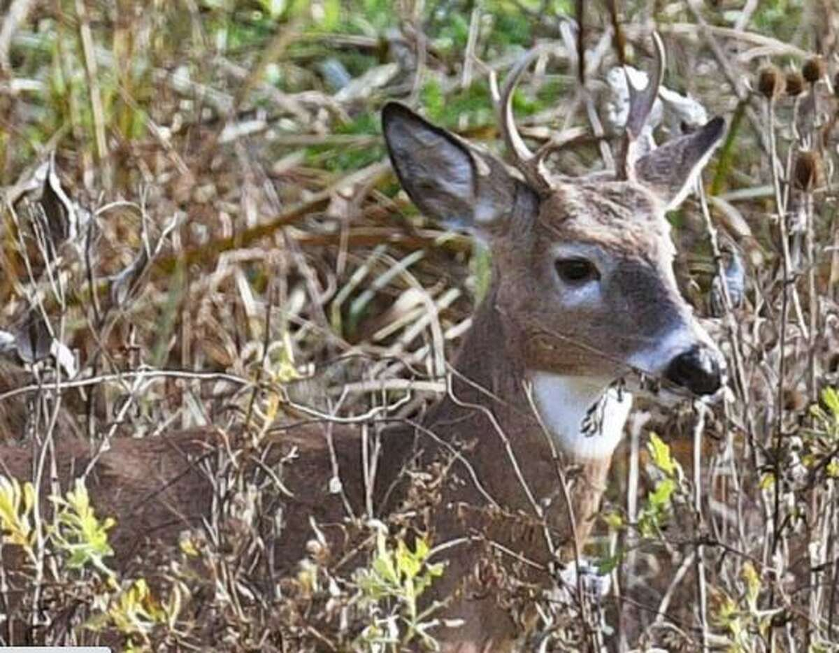 A white-tailed deer buck watches traffic from cover along Route 787 Wednesday Nov. 7, 2018 in Menands, NY.