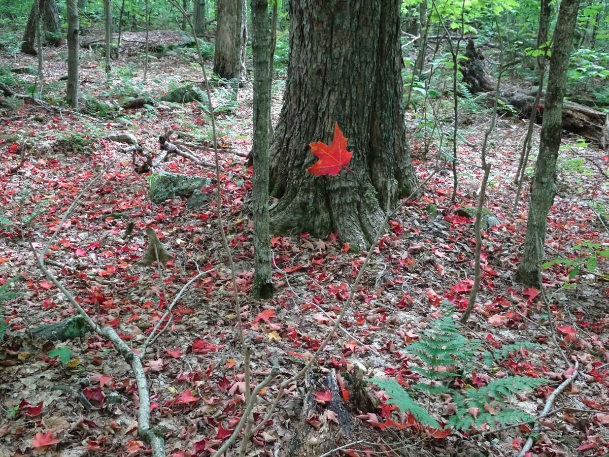 While hiking Windham High Peak on Sept. 20, we noticed many red maple leaves on the forest floor and a single leaf magically suspended by almost invisible spider web strands. It turned out to be the unforgettable shot of the day! (Pete Hogan and Jessica Loy)
