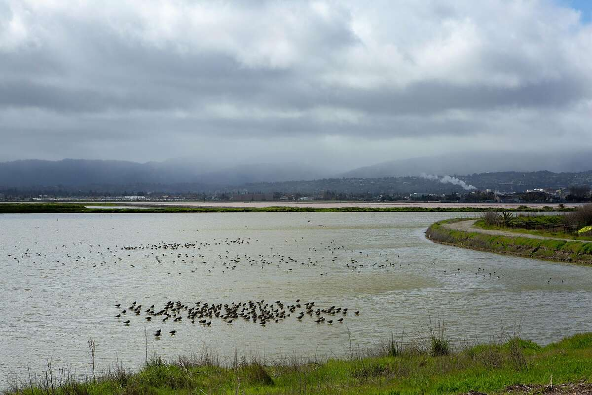 Birds at the Cargill property near the salt ponds on Tuesday, March 12, 2019, in Redwood City, Calif. A federal judge on Monday ruled that a collection of salt ponds on the San Francisco Bay is subject to protections under the Clean Water Act - going against a previous decision by the Environmental Protection Agency that could have potentially paved the way for massive development on the site.