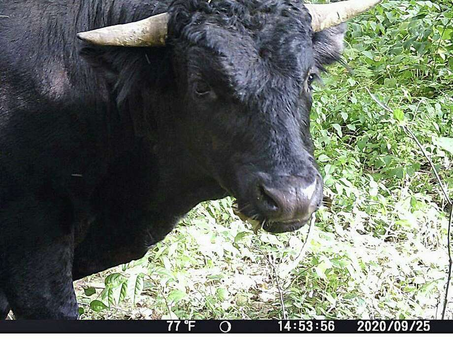 This photo of Buddy the beefalo was taken on Sept. 25, 2020. Buddy made his escape from the loading area of Plymouth Meats on Aug. 3, 2020. Photo: Plymouth Police Photo