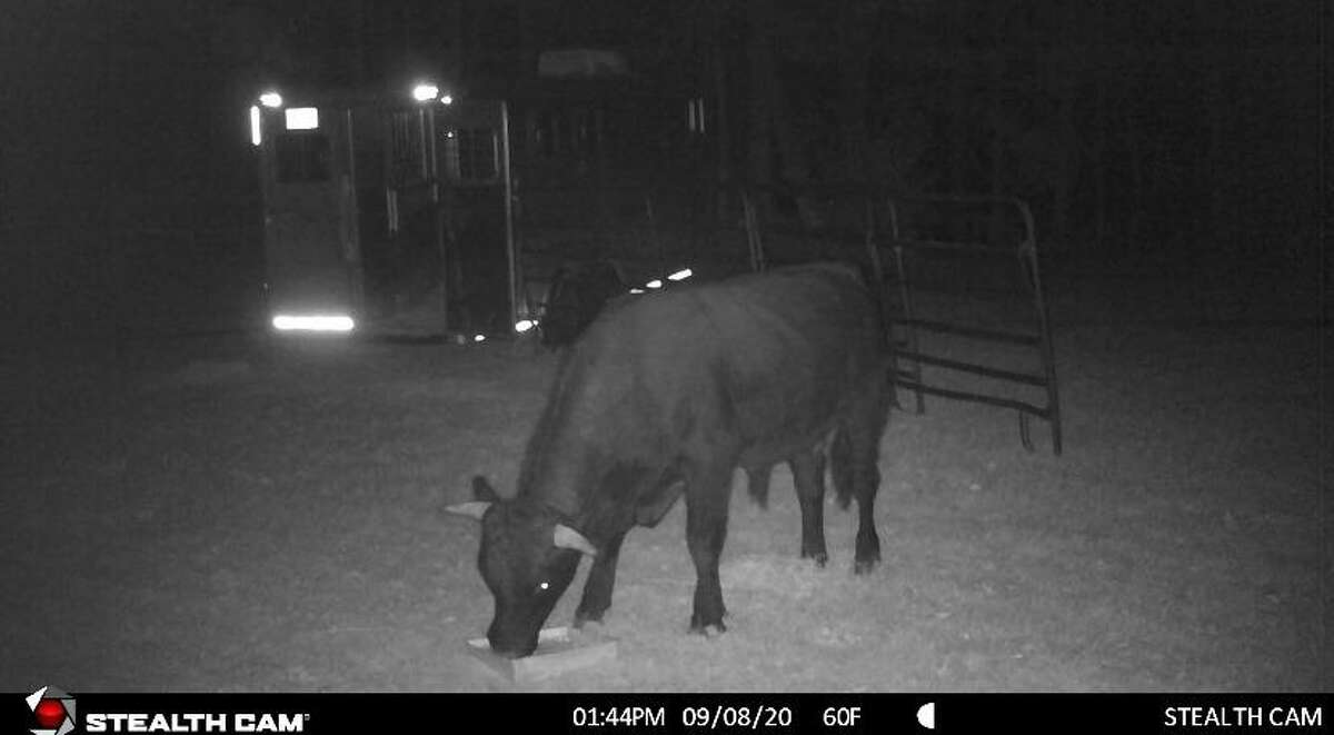 After more than two months of escaping from a slaughterhouse, Buddy the beefalo is still on the loose. Buddy made his escape from the loading area of Plymouth Meats on Aug. 3, 2020.