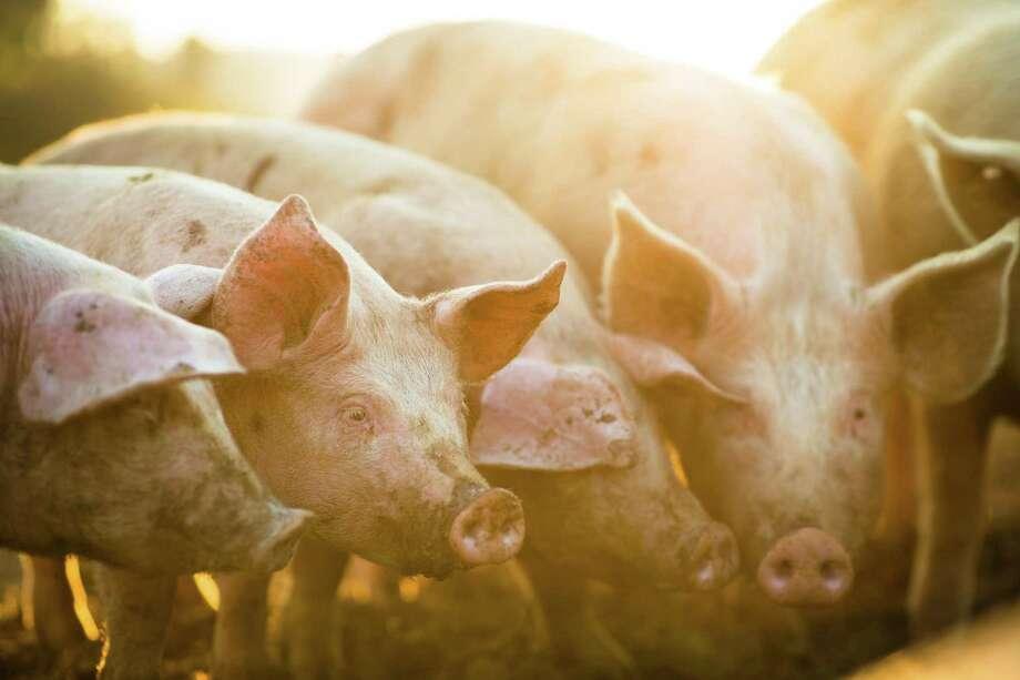 Pigs eating on a meadow in an organic meat farm. Photo: Dreamstime / (c) Lightpoet | Dreamstime.com
