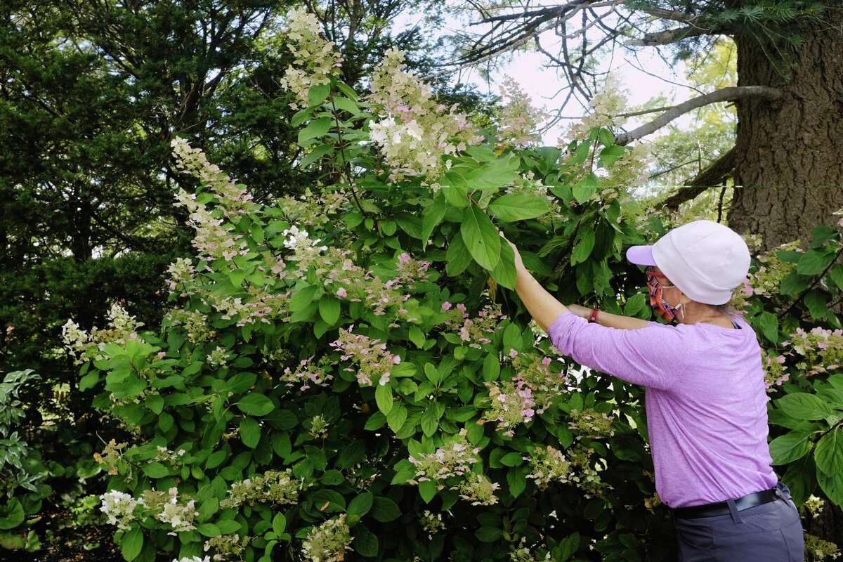 Amy Howansky, an associate horticulturalist at Faddegon's, talks about how to do some light pruning on a hydrangea on Tuesday, Oct. 6, 2020, in Latham, N.Y. Howansky says that the important thing is to use small hand pruners and not to use a manual or electric hedge trimmer when performing light pruning in the late fall. (Paul Buckowski/Times Union)
