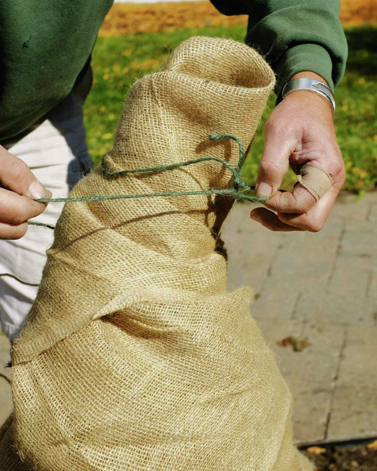 Jason Schultz, a garden designer at Faddegon's, demonstrates how to tie up burlap after wrapping up a dwarf Alberta spruce on Tuesday, Oct. 6, 2020, in Latham, N.Y. (Paul Buckowski/Times Union)