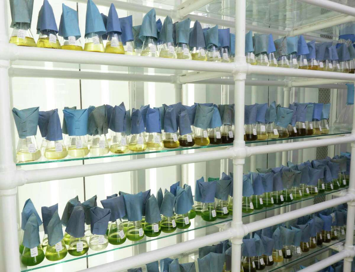 The microalgal culture collection at the Milford lab.