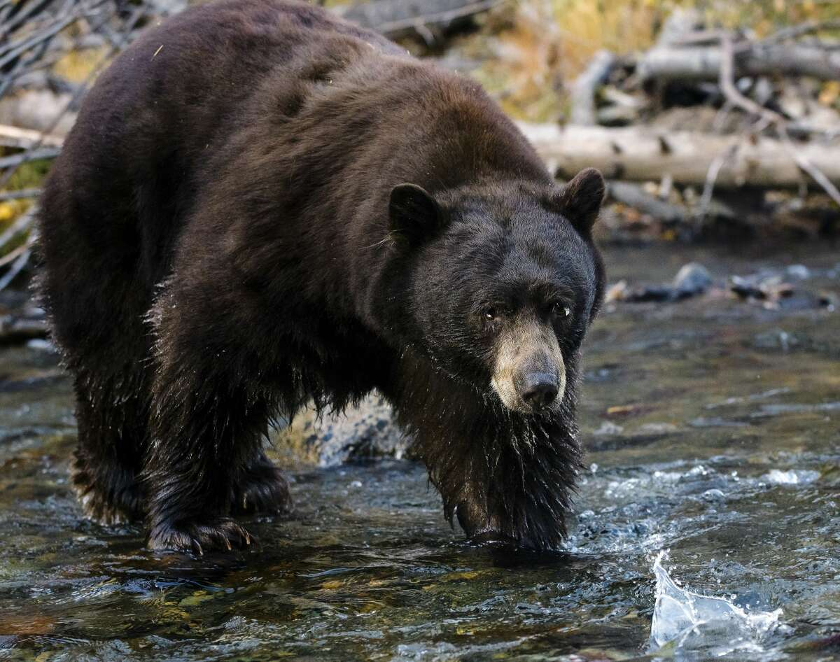 A Black Bear as he fishes for salmon in Taylor Creek, South Lake Tahoe, California.