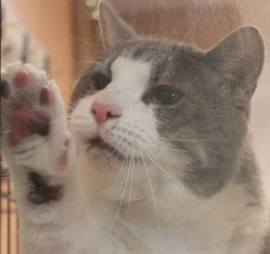 """Brock is a 4-year-old gray and white tabby. He says, """"I'm a very friendly cat found in a feral colony. Since I lived on the streets for so long, it's best I have a home to myself or possibly another non-dominant cat. I'm also FIV+ and with the right care I can live as long as any other cat. Cat Tales helped me get the eye surgery I needed too and I'm healing well. I'm super-snuggly and playful and can't wait to go to my own home! Come visit me and find out what a teddy bear and wonderful companion I'd be for you."""" Visit www.CatTalesCT.org/cats/Brock, call 860-344-9043, or email info@CatTalesCT.org. Watch our TV commercial: https://youtu.be/Y1MECIS4mIc Photo: Contributed Photo"""