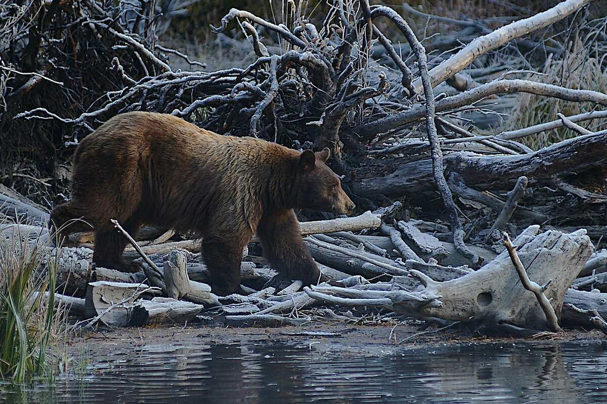 A bear is visible near the Kokanee Salmon Run in Taylor Creek South Lake Tahoe on October 16, 2019.