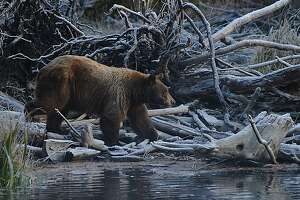 A bear is visible near the Kokanee Salmon Run in Taylor Creek South Lake Tahoe on October 16, 2019.