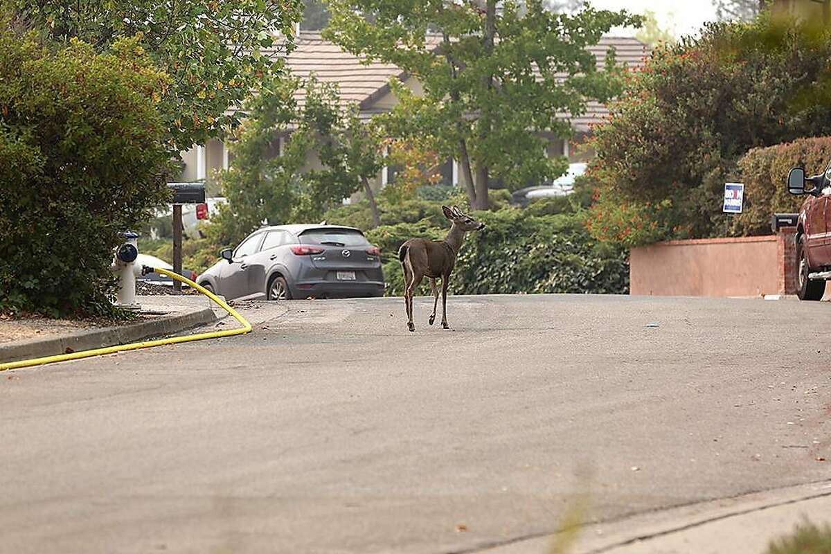 A young deer walks on Beaumont Way in Santa Rosa on Sept. 30, three days after the Glass Fire started in Napa County and spread west to Sonoma County. Deer have sharp hooves and should be avoided.