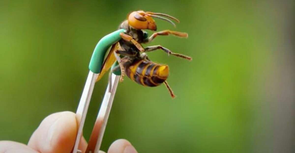 Asian giant hornets, also called Murder Hornets, are up to two inches long, and can sting its victim multiple times.