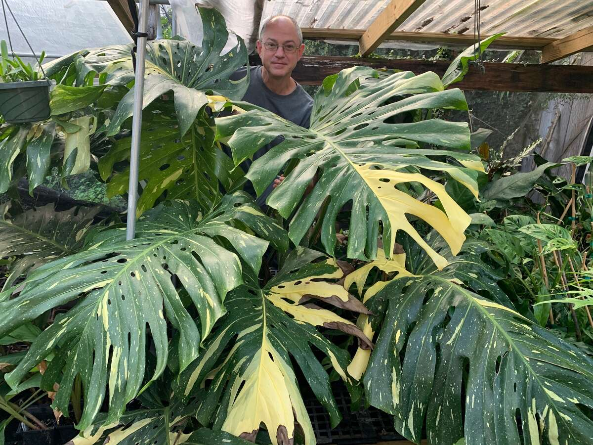 Wayne Dupont, pictured here, carries many varieties of rare plants at his Zone 9 Tropicals shop, like this Monstera deliciosa variegata aurea.
