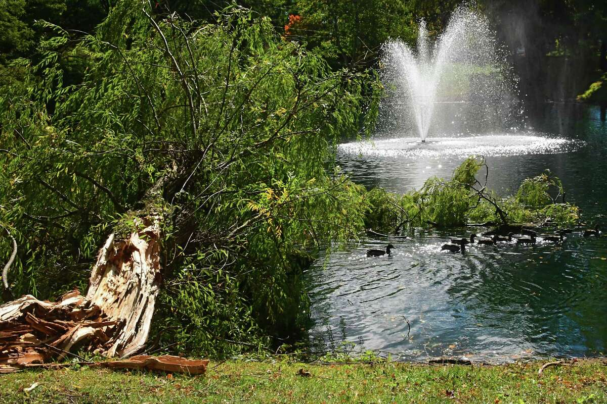 Ducks swim out from a tree which fell in a lake at Woodlake Apartments on Thursday, Oct. 8, 2020 in Guilderland, N.Y. Wind and rain from a storm yesterday caused major damage and outages. (Lori Van Buren/Times Union)