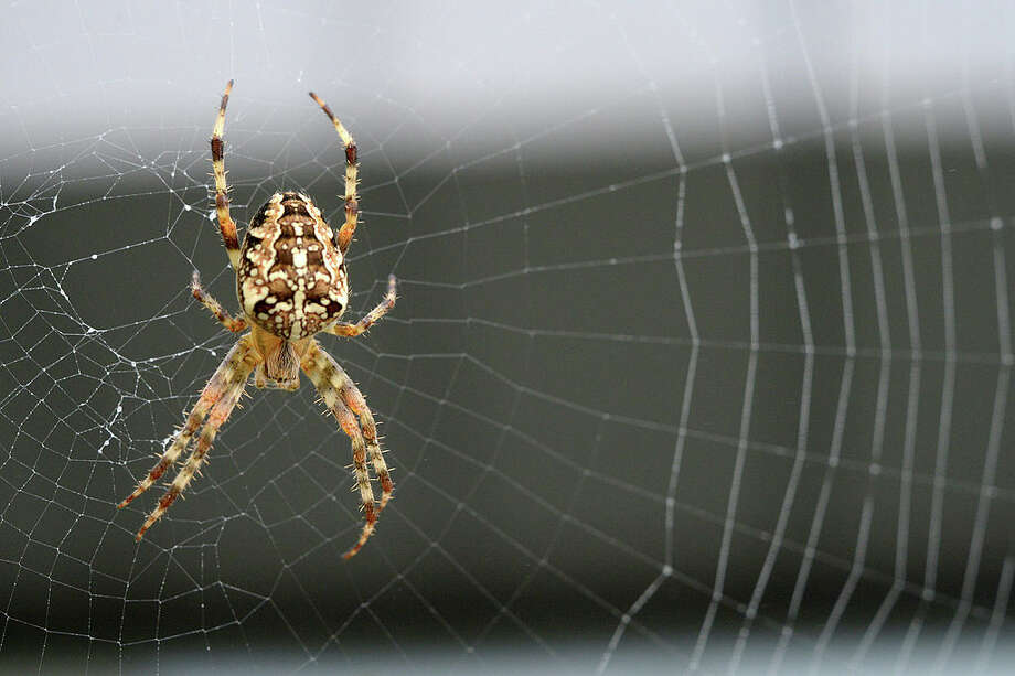 """It's """"spider season"""" in Seattle, but don't be afraid Photo: DAMIEN MEYER/AFP Via Getty Images / 2013 AFP"""
