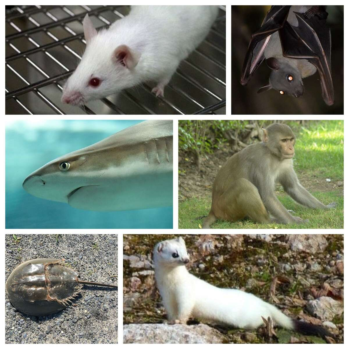 Six animal species being threatened by the COVID pandemic. Before we get to the meat of the matter, if you're curious about the ethics of animal testing (a long-term and complex issue about which many people feel strongly) check out this piece from Stanford University examining both sides of the debate. With that preface stated, here are six animals impacted by the pandemic itself, and the attempt to cure and treat COVID-19: MinksThere have been few solid cases of animal-to-human transmission of the coronavirus, and minks are one example. As a result, mink farms have culled their stock, resulting in the deaths of many thousands of minks around the world. In the United States, as many as 8,000 minks in three states died from COVID-19 infections after workers at farms passed the disease to the animals. Veterinarians said they do not believe humans were at risk from catching the virus from the animals in this case.