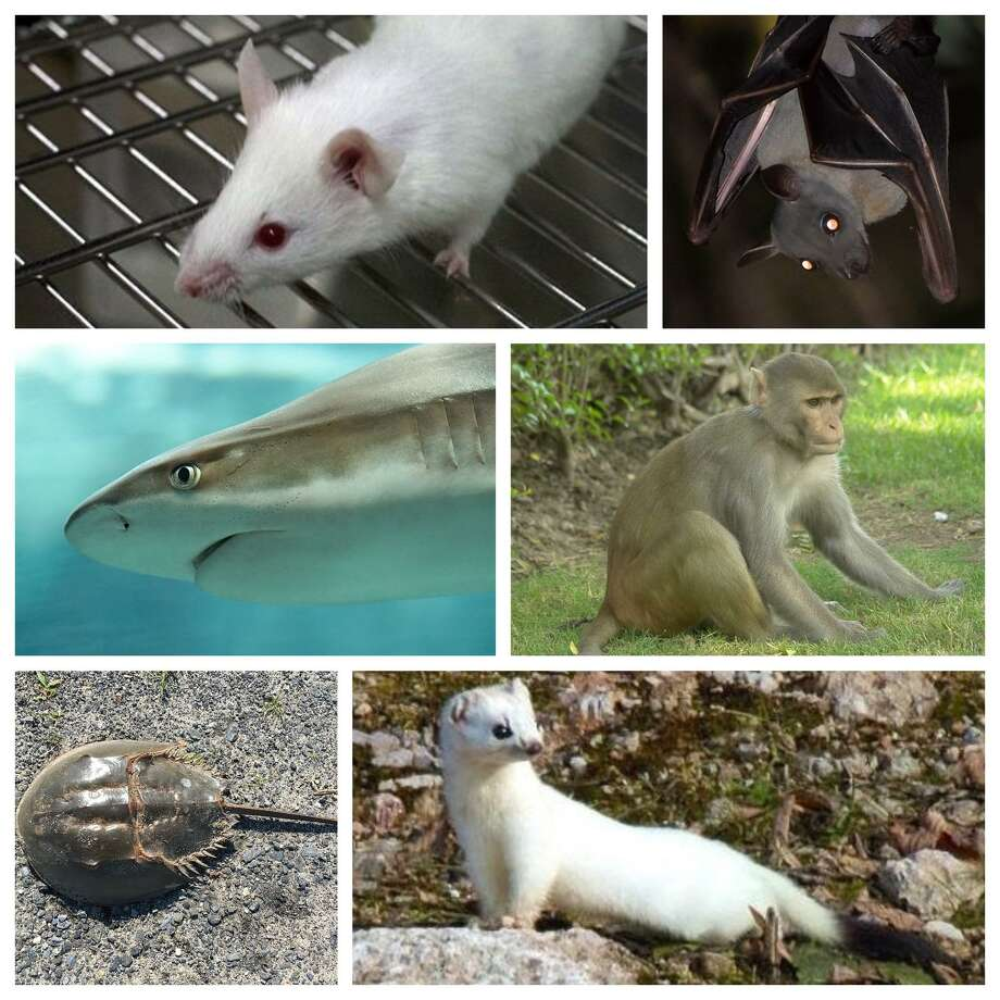 Six animal species being threatened by the COVID pandemic. Photo: Wikimedia /Creative Commons