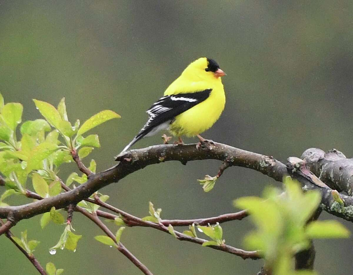 A goldfinch perches on a tree at Audubon Greenwich last year. Goldfinch off spring hatch in the fall when the seed supply is plentiful.