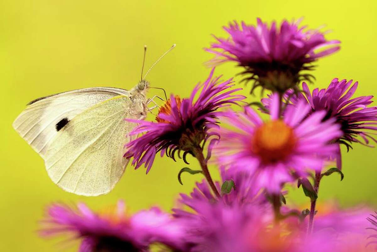 The cabbage white butterfly, a.k.a. pieris rapae, is charming as a butterfly but is a voracious eater in its caterpillar stage.