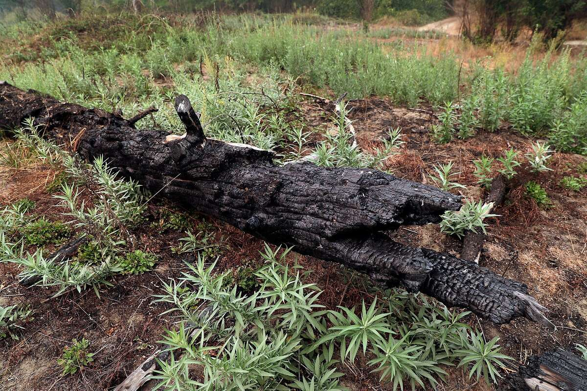 A log that was burned in a past wildfire sits among new growth of mugwort that sprouted after a traditional Karuk prescribed burn on tribal land near Happy Camp (Siskiyou County). The burns promote open areas that support wildlife and reduce the chances of monstrous blazes.