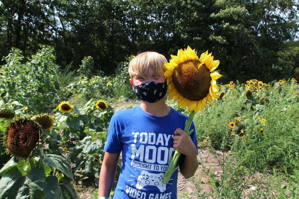 Jaycob Bennett picked this sunflower that had the same size face as his at Liberty Ridge Farm's Sunflower Festival in September. Each visitor was allowed to cut one sunflower at the Schaghticoke event. Photo by Barbara Bennett White