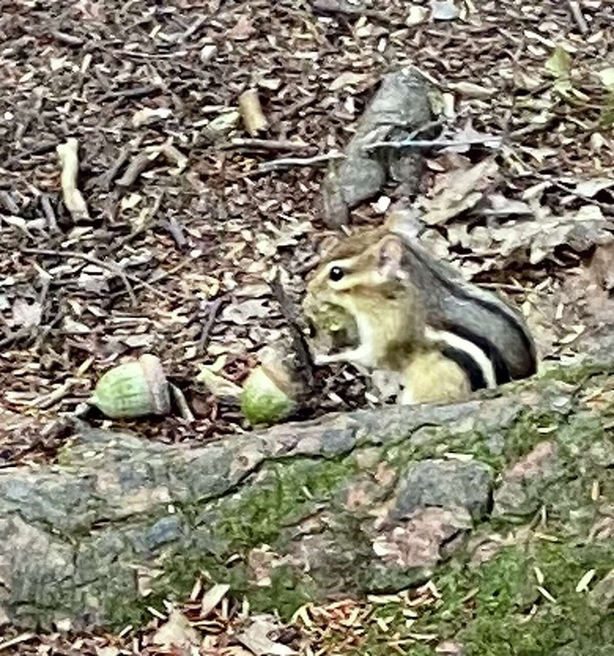 This little denizen of the wild - this little chipmunk - was seen on the Vlomanskill Trail at Five Rivers, enjoying natures bounty.