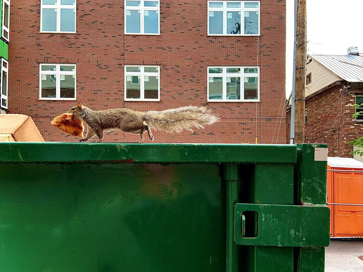 An opportunistic squirrel found a slice of pizza and had himself a holiday meal on top of the dumpster. Nothing could stop him - not even spectators.