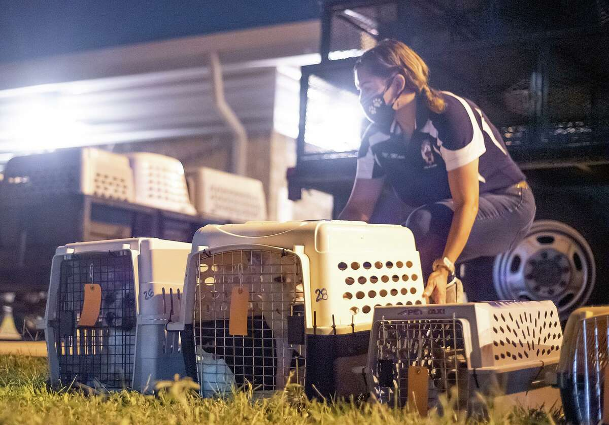 Volunteers and Laredo Animal Care Services workers load cats and dogs onto a truck Saturday, Oct. 10 at the LACS facility as the animals are prepared to be flown by the Dog Is My CoPilot organization to other states where foster homes and adoptions have been arranged.