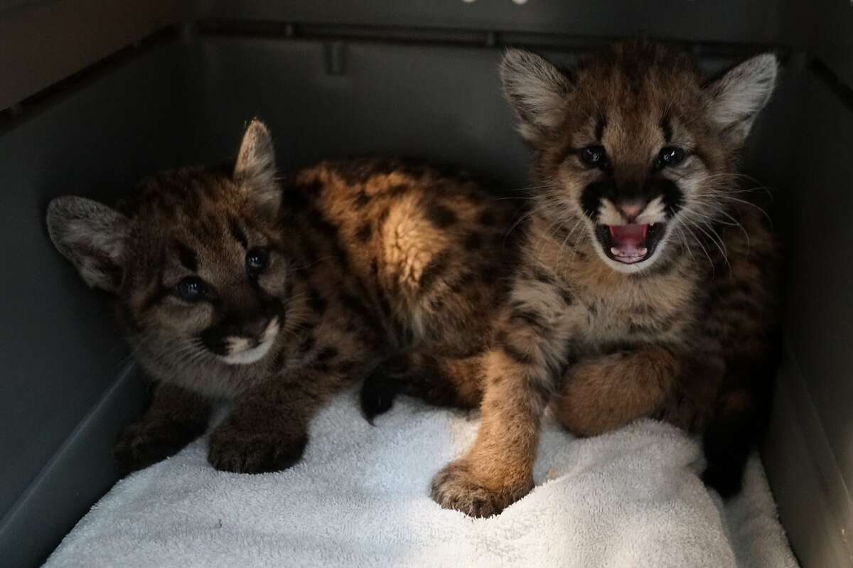 Two female mountain lion cubs, who would not survive in the wild without their mother, were rescued from the Zogg Fire and are being cared for at the Oakland Zoo, as is a male cub.