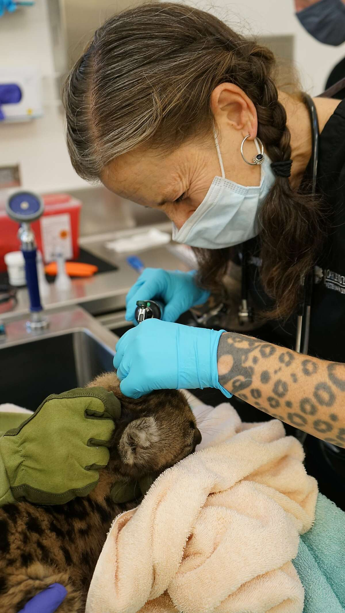 A member of the veterinary staff at the Oakland Zoo examines one of the female mountain lion cubs rescued from the Zogg Fire.
