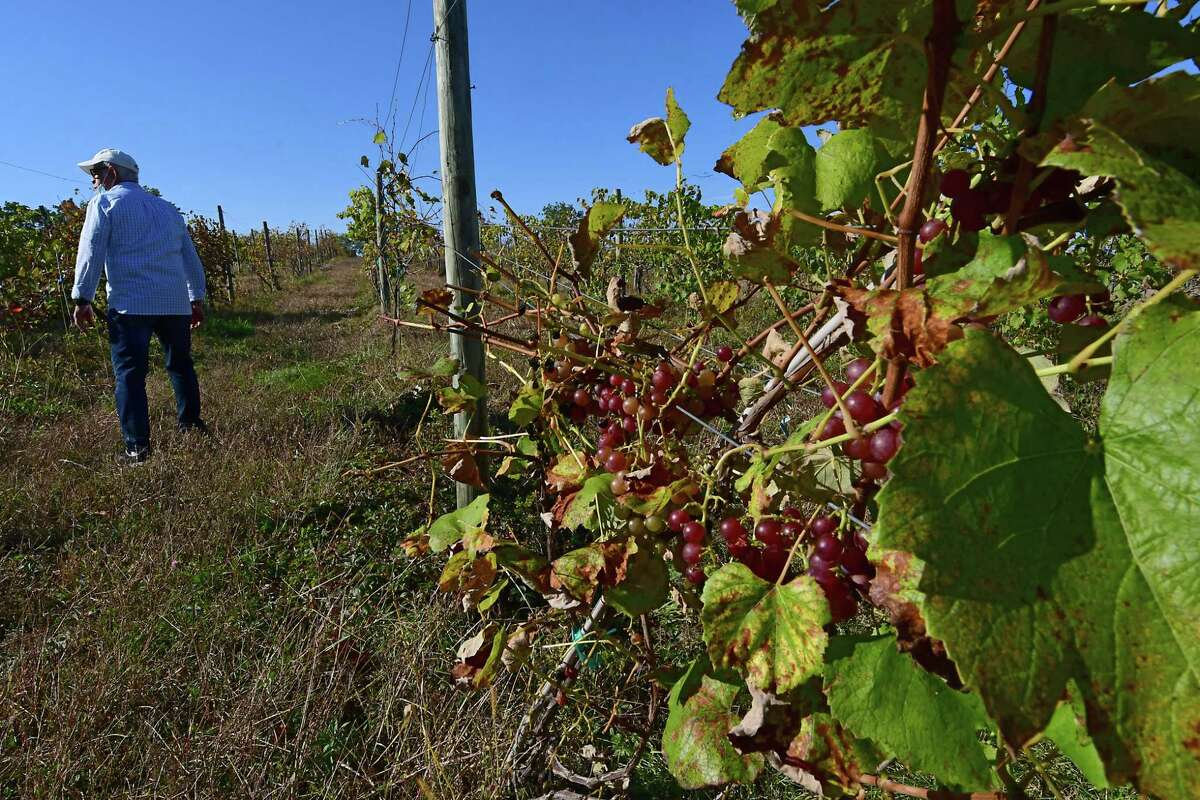 Abby Youghabi is seen walking in the grape vineyard at Sabba Vineyard on Friday, Oct. 9, 2020 in Old Chatham, N.Y. (Lori Van Buren/Times Union)