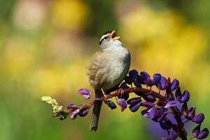 Happy that spring is here, a white crowned sparrow sings while resting on a purple lupine in the middle of a colorful flowery garden.