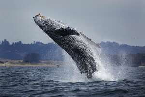 A humpback whale breaches clear out of the water in a graceful display of power and beauty. Taken in Monterey Bay, California