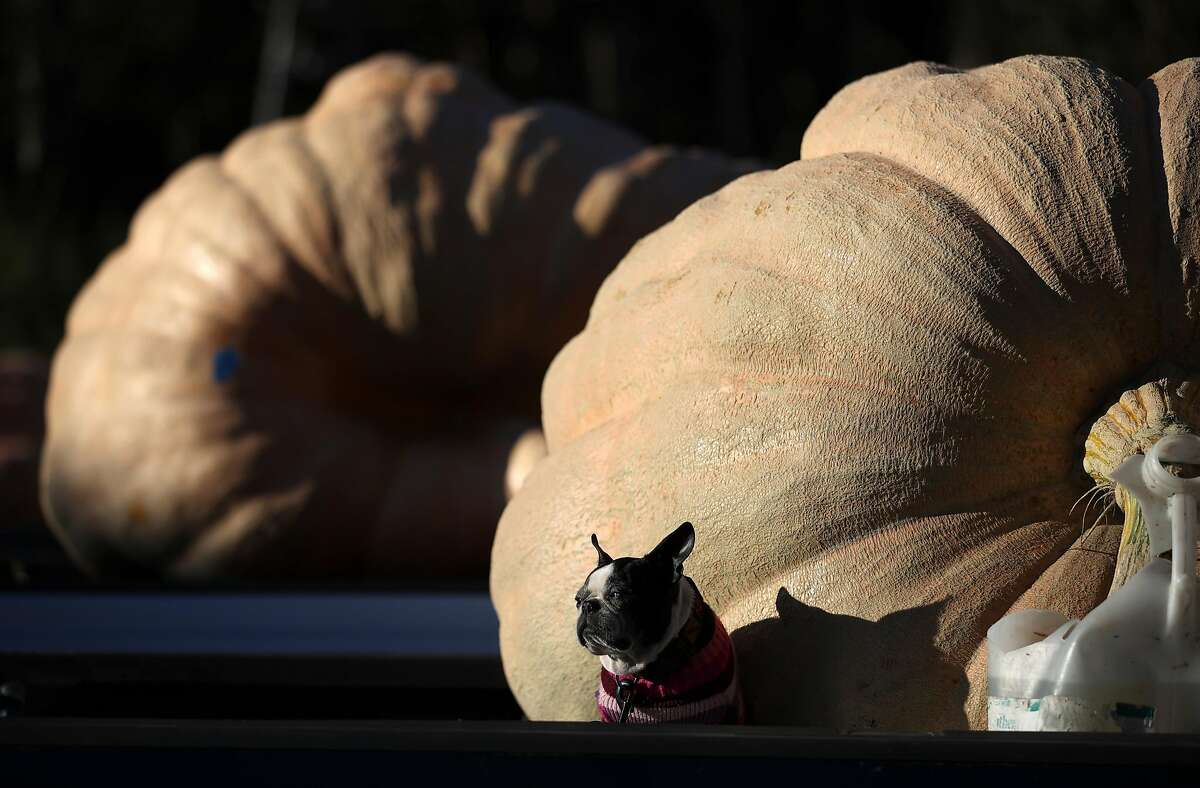 A dog sits in front of large pumpkins during the Safeway World Championship Pumpkin Weigh-Off on Oct. 12, 2020, in Half Moon Bay, California.