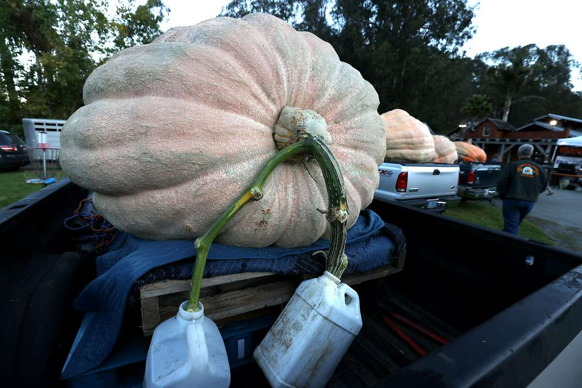Water jugs hang from the stem of a large pumpkin during the Safeway World Championship Pumpkin Weigh-Off on Oct. 12, 2020, in Half Moon Bay, Calif. A large gourd can lose 6-8 pounds of weight after being cut from the vine if it doesn't continue to receive water.