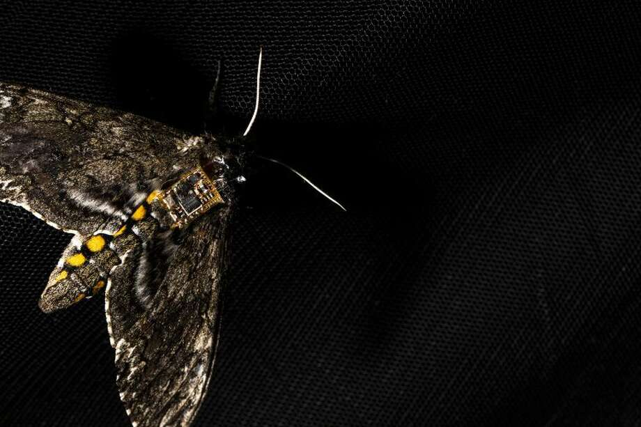 UW researchers have created a sensor system that can ride on the back of a moth. Shown here is a Manduca sexta moth with the sensor on its back. Photo: Mark Stone/University Of Washington